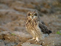 Hibou des marais – Photo : Fabrice Croset