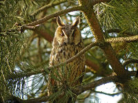 Hibou moyen-duc – Photo : Fabrice Croset